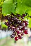Uva en la vid de uva Imagen de archivo libre de regalías