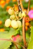 Uva en manojo Imagen de archivo libre de regalías