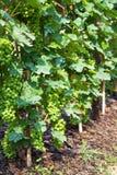 Uva en viñedos Imagen de archivo