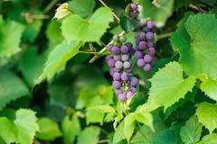 Uva fresca en rama de la vid Foto de archivo libre de regalías