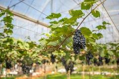 Uva fresca nell'azienda agricola fotografie stock