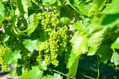Uva fresca verde per vino delizioso fotografia stock