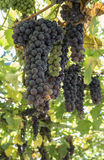 Uva in giardino Fotografie Stock Libere da Diritti