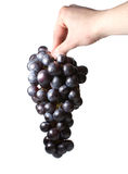 Uva in a hand. Sweet tasty grapes in a hand of somebody isolated on white royalty free stock photo
