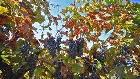 Uva lista para la cosecha en el viñedo almacen de metraje de vídeo