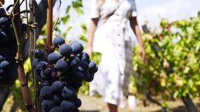 Uva madura da colheita em vinhedos no dia ensolarado video estoque
