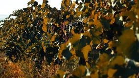 Uva matura nell'iarda della vite, vista del primo piano, effetto d'annata video d archivio
