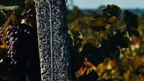 Uva matura nell'iarda della vite, vista del primo piano, effetto d'annata archivi video