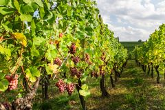 Uva matura nella caduta nell'Alsazia, Francia Fotografie Stock
