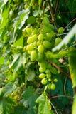 Uva matura verde su un ramo fotografia stock