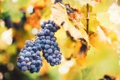 Uva matura in wineyard della valle, raccolto di agricoltura sull'autunno tardo Immagini Stock