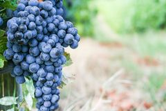 Uva negra para el vino rojo Fotos de archivo libres de regalías