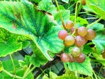 Uva nel giardino Fotografia Stock