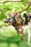Uva nell'azienda agricola Immagini Stock