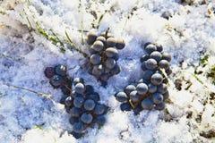 Uva nella neve Fotografia Stock