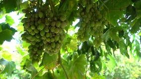 Uva no campo do vinhedo video estoque