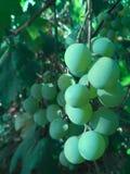 Uva non matura verde Fotografia Stock Libera da Diritti
