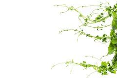 Uva o arbusto salvaje trifoliado de la planta de la hiedra de la liana del trifolia de Cayratia del cayratia de la vid, frontera  fotografía de archivo libre de regalías