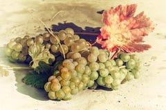 Uva organica bianca sul ramo della vite Concetto di fabbricazione di vino Fotografie Stock