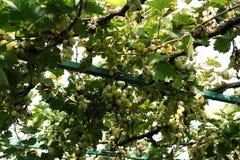 Uva organica nella caduta Uva matura Hang From una vite Vigne al tramonto nel raccolto di autunno Fotografie Stock