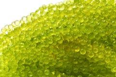 Uva ovale alga, fine del mare sul caviale verde isolato su bianco fotografia stock libera da diritti