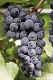 Uva para vinho Foto de Stock