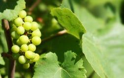 Uva para vinho branca Imagem de Stock Royalty Free