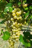 Uva para vinho branca Foto de Stock Royalty Free