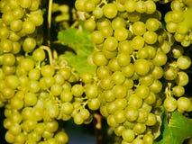 Uva para vinho fora Fotos de Stock