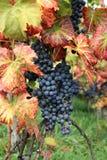 Uva para vinho Pinot Fotos de Stock Royalty Free