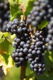 Uva para vinho vermelha Foto de Stock