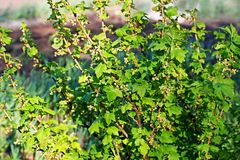Uva passa bassa di Bush in primavera Immagini Stock Libere da Diritti