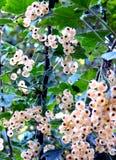 Uva passa bianca Immagini Stock Libere da Diritti