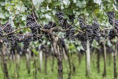 Uva pronta ad essere raccolto per la produzione vinicola seguente Immagini Stock Libere da Diritti