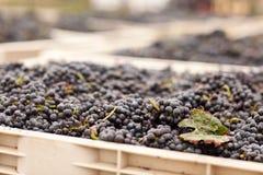 Uva raccolta del vino rosso in casse Fotografia Stock