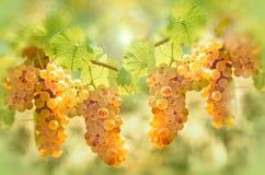 Uva Riesling in vigna - il gusto ed il colore dell'uva gradiscono il miele immagini stock