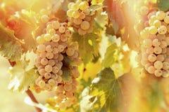 Uva Riesling & x28; grape& x29 do vinho; no vinhedo Imagens de Stock Royalty Free