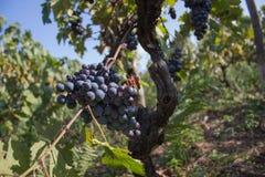 Uva rossa che appende su un cespuglio in un bello giorno soleggiato Mazzi soleggiati di uva del vino rosso sulla vigna Fotografie Stock
