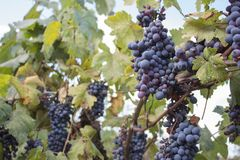 Uva rossa che appende su un cespuglio in un bello giorno soleggiato Mazzi soleggiati di uva del vino rosso sulla vigna Fotografia Stock Libera da Diritti