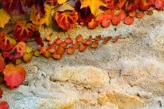 Uva rossa di autunno Immagine Stock Libera da Diritti