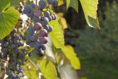 Uva rossa di mattina Fotografia Stock