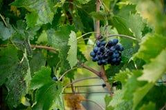 Uva rossa di Sangiovese con le goccioline di acqua Fotografie Stock