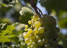 Uva rossa e foglie in autunno Fotografia Stock