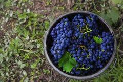 Uva rossa in secchio Fotografie Stock