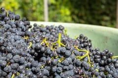 uva rossa in un raccolto del recipiente fotografia stock