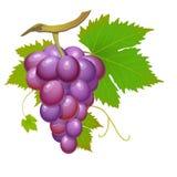 Uva roxa ilustração royalty free