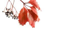 Uva salvaje del otoño Imagen de archivo libre de regalías