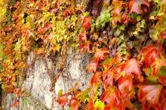 Uva salvaje en la pared Fotografía de archivo libre de regalías