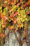 Uva salvaje en la pared Imagen de archivo libre de regalías