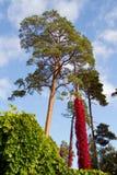 Uva salvaje roja Imagen de archivo libre de regalías
